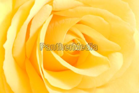fiore rosa fiori morbido rose delicato