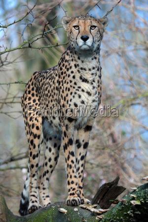 mammifero ritratto felino guardare osservare predatore