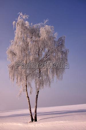 albero alberi inverno betulla gelo brina