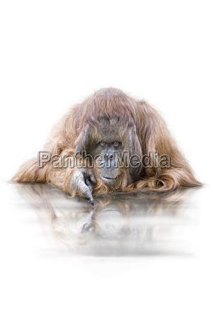orangutan wd74