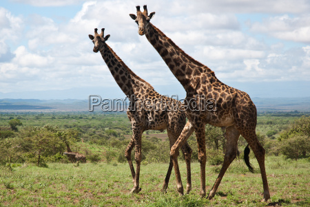 curioso africa kenia savana safari giraffe
