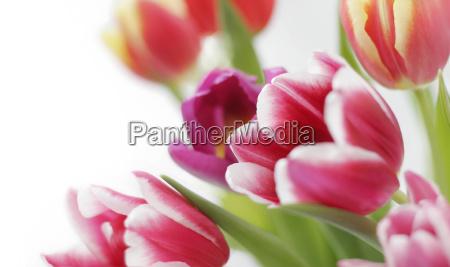 tulips against white background