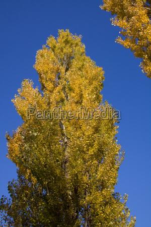 gold poplar