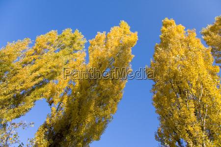three poplars