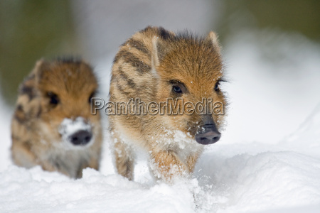 freshlings nella neve