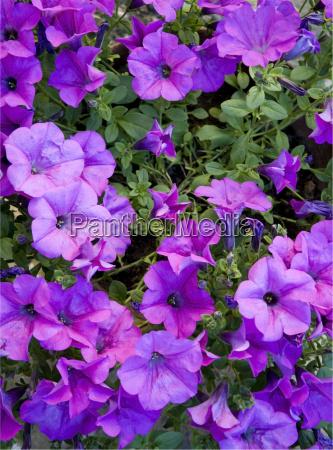 fiore porpora viola petunia natura