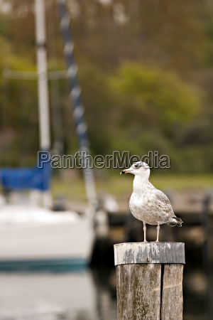 seagull before sailboat