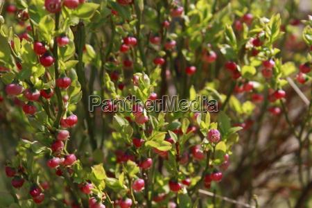 foglia verde arbusto crescere bacca pianta