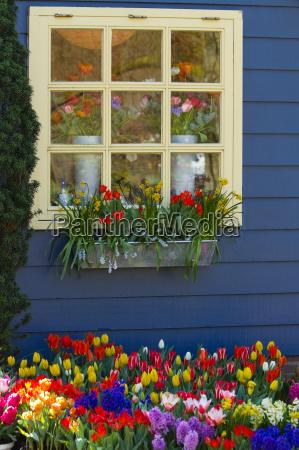 blu giardino finestra fiore fiori tulipani
