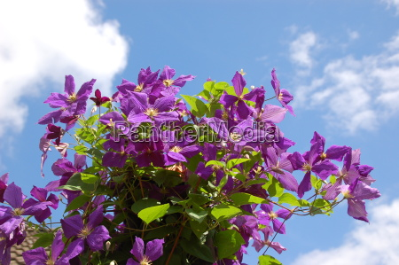clematis and cloud sky