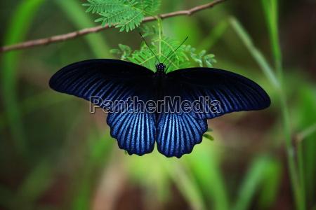 blu luce farfalla ala thailandia falena