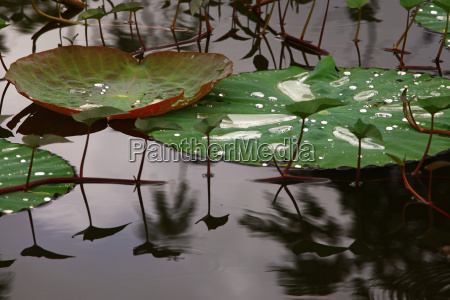 foglia loto acqua dolce lago acqua