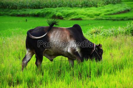 toro thailandia bue