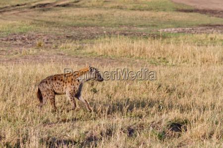 savana safari grugno museruola iena riserva