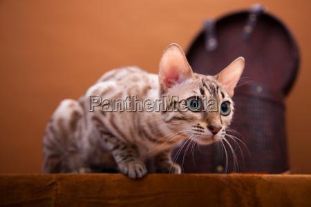 animali occhi gatti pelliccia autunno