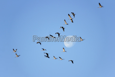 luna gru uccelli migratori volo di