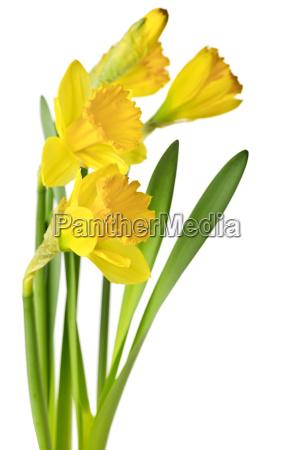 giallo narcisi di primavera