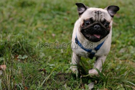 cane rabbia cane con pedigree cane