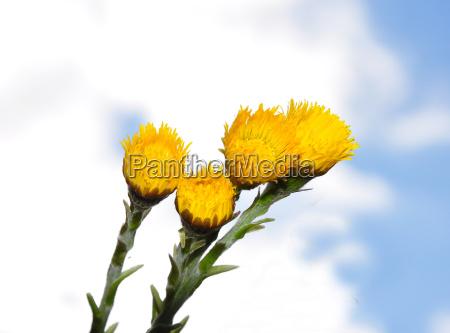fiore fioritura pianta medicinale farfara pianta