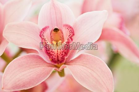 fiore fiori orchidea orchids cymbidium quotboat