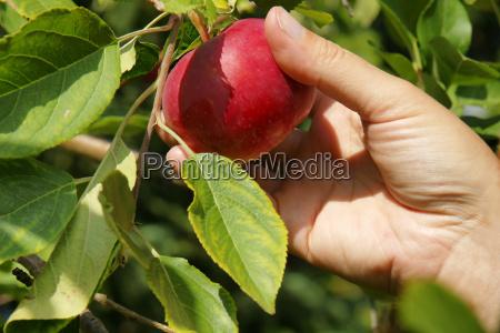 raccogliere cibo mano giardino vendemmia frutta