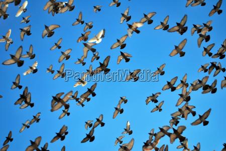 piccioni molti volare vola volante