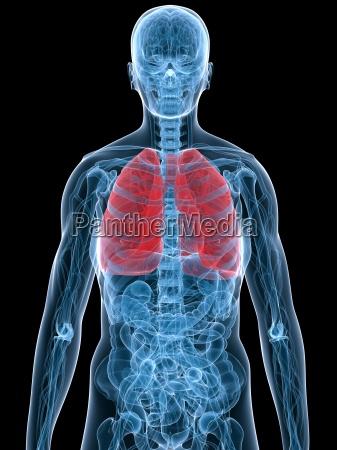 polmone evidenziato