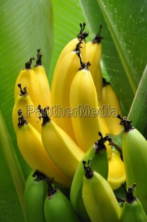 flora maturo frutta banana tropicale mondo