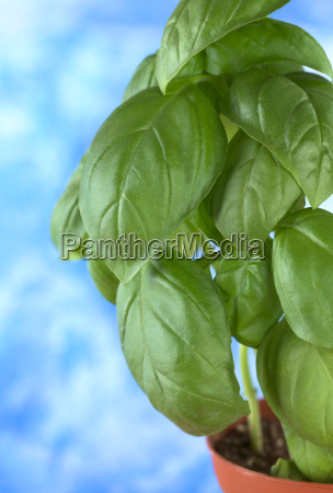 sweet basil in plant pot