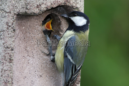 uccello uccelli prole imboccare cinciallegra larva