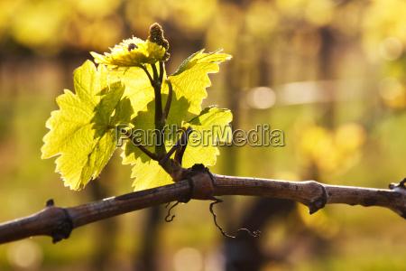 ramo spinta vigneto pagina lussuria uva