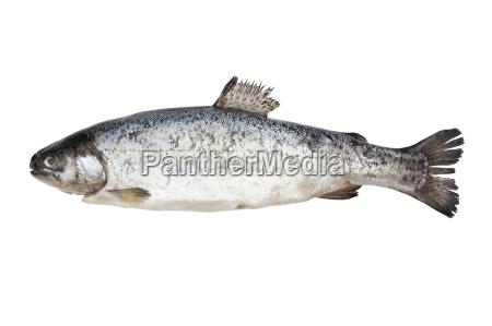 cibo pesce trota crudo frutti di
