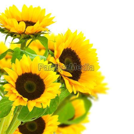 giardino fiore girasoli prato giallo floreale