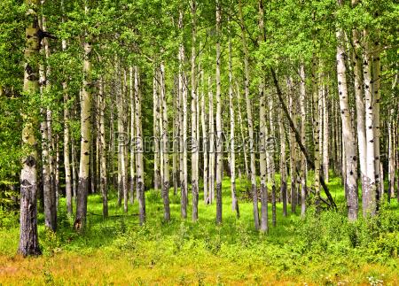 aspen alberi a banff national park