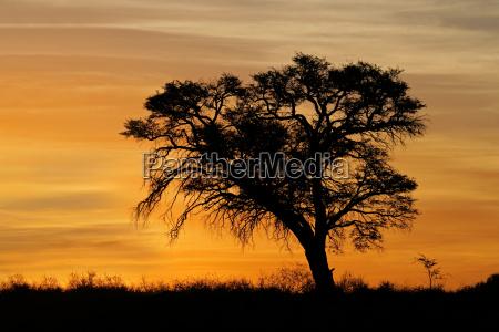 tramonto africano con lalbero sagomato