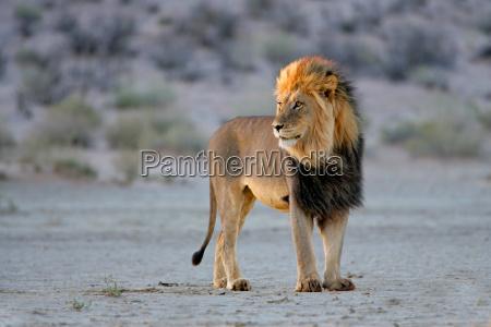 grande leone africano maschio