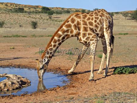 bere natura giraffa pozza dacqua acqua