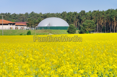 colza campo di colza impianto biogas