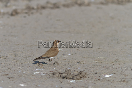 uccello marrone natura abbronzatura