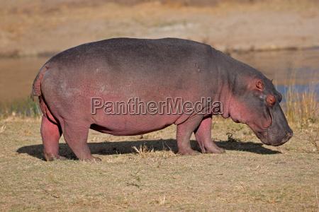 mammifero selvaggio natura ippopotamo erbivoro
