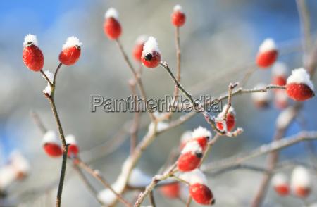 rosa canina in inverno