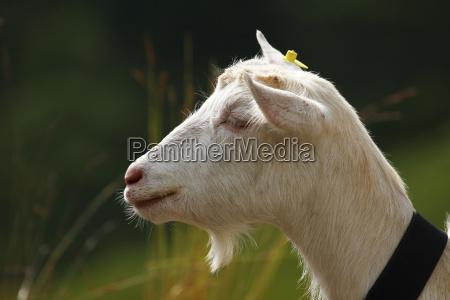 capra svizzera caprone formaggio di capra