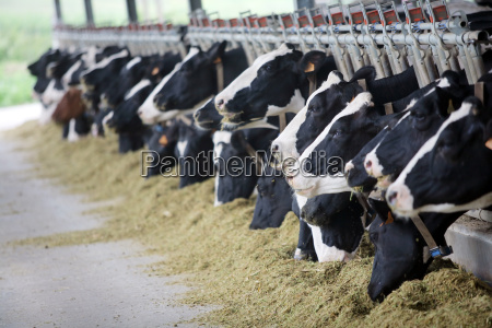 mucche holstein