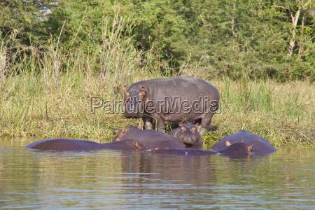 animale africa ippopotamo fiume acqua