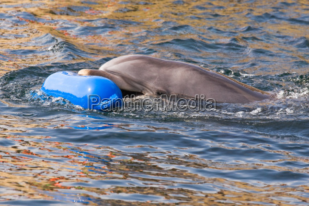 bottlenose dolphin or tursiops truncatus playing