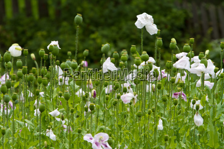 poppy cultivation