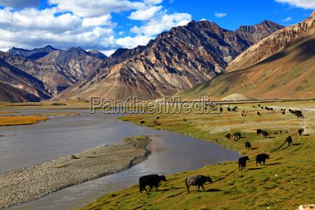 india bovino mandria montagna himalaya