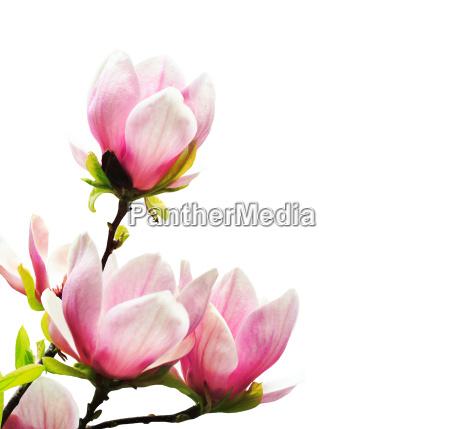 fiore botanica primavera magnolia bello meraviglioso