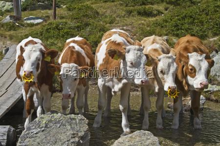 agricoltura mucca bestiame vitelli amici
