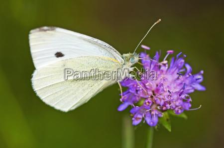 insetto farfalla caucasico bianco falena infestanti